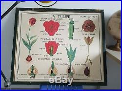 French vintage school botanical poster flower tulip botany 1960